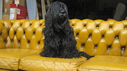 Chesterfield-Hund-02.jpg